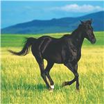 Horses Beverage Napkins - 16 Pack by Windy City Novelties PAP4258BUN